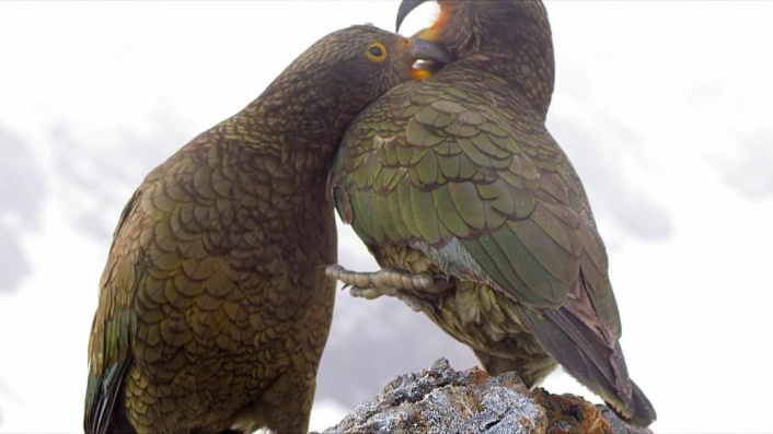Keas: New Zealand's Witty Daredevils